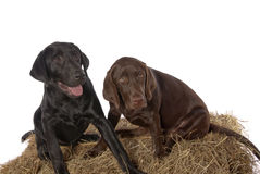 Young Chocolate Black Labrador Retriever puppies Royalty Free Stock Images