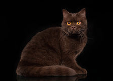 Young chocolate british cat Royalty Free Stock Images
