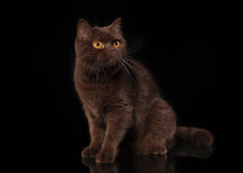 Young chocolate british cat on black background Stock Photo