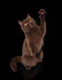 Young chocolate british cat Stock Photos