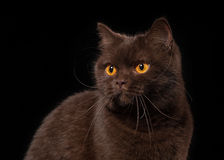 Young chocolate british cat on black background Royalty Free Stock Images