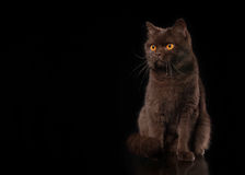 Young chocolate british cat on black background Royalty Free Stock Photo