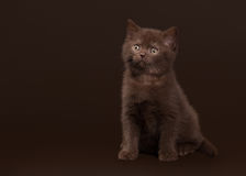 Young chocolate british cat on dark brown Royalty Free Stock Photos