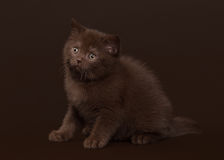 Young chocolate british cat on dark brown Royalty Free Stock Photo