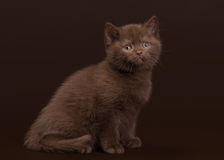 Young chocolate british cat on dark brown Royalty Free Stock Image