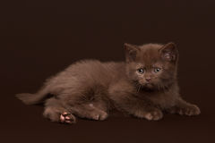 Young chocolate british cat on dark brown Stock Image