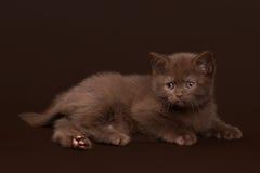Young chocolate british cat on dark brown. Background Stock Image