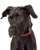 Young Chocolate Labador Retriever Profile Stock Images