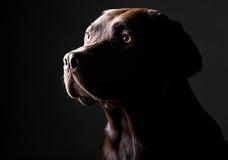 Young Chocolate Labrador Stock Image