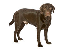 Young Chocolate Labrador Isolated on White Stock Photos