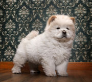 Young Chow-chow in a retro room Royalty Free Stock Photos