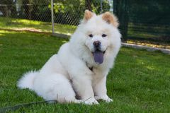 Young chow chow pet Stock Image