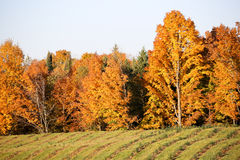 Young Christmas Trees in Autumn. Rows of Young Christmas trees in front of colorful hardwoods in autumn Stock Images