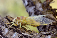Young cicada on branch Royalty Free Stock Images