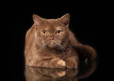 Young cinnamon british cat on black background Royalty Free Stock Photos