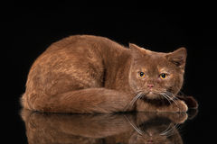 Young cinnamon british cat on black Royalty Free Stock Image