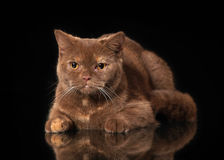 Young cinnamon british cat on black background Royalty Free Stock Photo