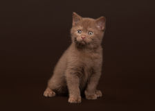 Young cinnamon british cat on dark brown Royalty Free Stock Image
