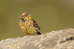 Young Cirl Bunting - Emberiza cirlus sitting. On the rock Stock Photography