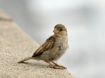 Young city sparrow Royalty Free Stock Photo