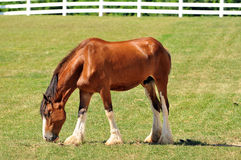 Young Cladesdale Horse on a pasture Royalty Free Stock Photos
