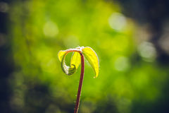 Young clematis Stock Image
