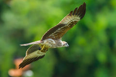Young Close up of Brahminy kite Stock Photos