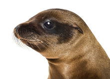 Young Close-up of a California Sea Lion Royalty Free Stock Photography