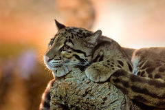 Young clouded leopard Royalty Free Stock Photo