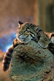 Young clouded leopard Royalty Free Stock Images