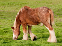 Young Clydesdale Horse Stock Photo