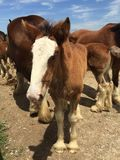 Young Clydesdale at the Warm Springs Ranch Royalty Free Stock Image