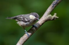 Young Coal tit perched on thin branch royalty free stock photo