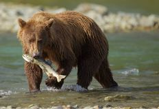 Coastal Brown Bear. A young Coastal Brown Bear fishing for salmon in Geographic Harbor, Katmai National Park, Alaska. After just a few minutes, he catches a Royalty Free Stock Image