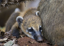 Young Coati Mundi Stock Photos