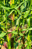 Young cob corn on the stalk. In farm Stock Photos