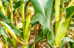 Young cob corn on the stalk. Stock Images
