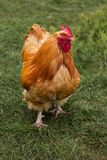 Young cock Stock Photo