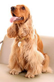 Young cocker spaniel. Young brown cocker spaniel on white background royalty free stock photos