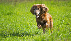 Young cocker spaniel Stock Images
