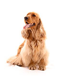 Young cocker spaniel isolated Royalty Free Stock Photography