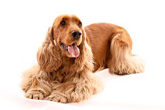 Young cocker spaniel isolated. On white royalty free stock images