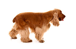 Young cocker spaniel isolated Stock Photo