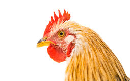 Young cockerel. On a white background Royalty Free Stock Photos
