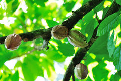 Young cocoa pods in growth. Fresh cocoa pods in growth on the tree Stock Images