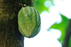 Young cocoa pods in growth. On the tree Stock Photography