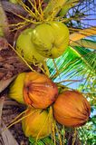 Young coconut. The coconut is known for its great versatility as seen in the many domestic, commercial, and industrial uses of its different parts. Coconuts are Stock Photo