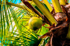 Young Coconut Stock Photography
