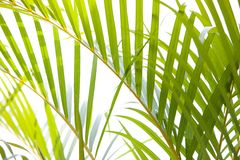 Young coconut frond Royalty Free Stock Photos