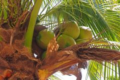 Young coconut fruit Royalty Free Stock Images